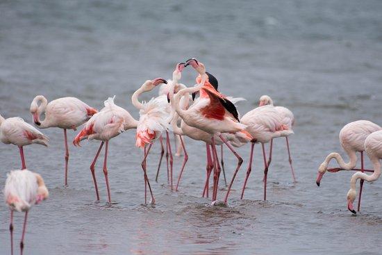 วอลวิสเบย์, นามิเบีย: Flamingos in Walvisbaai