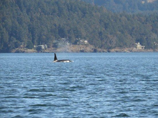 Cowichan Bay, Kanada: Orca