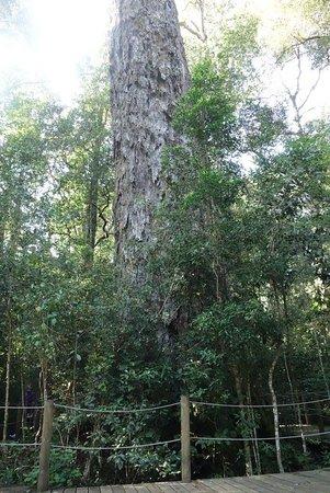 Tsitsikamma National Park, Sudáfrica: albero
