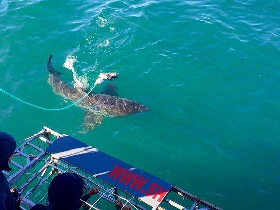 Kleinbaai, África do Sul: squalo3