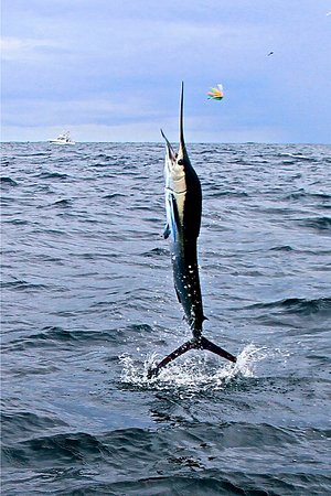 Herradura, Costa Rica: Striped Marlin caught on The Sunny 1