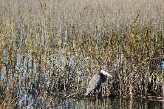Murrells Inlet, SC: a beautiful Heron lazying!!!