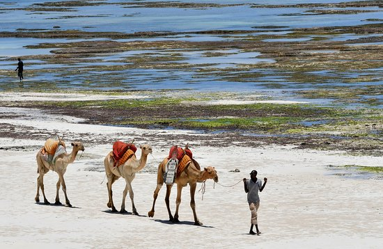 Baobab Beach Resort & Spa: Camels on the Diani Beach