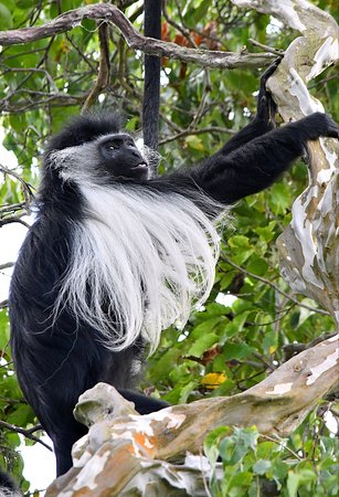 Baobab Beach Resort & Spa: Colobus with tongue out.