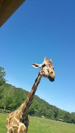 Safari West : Cute giraffe