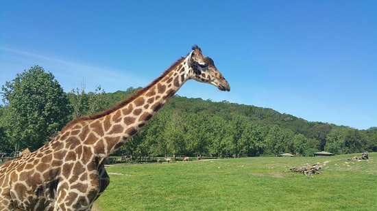 Safari West : Giraffe's Facebook profile pic ;-)