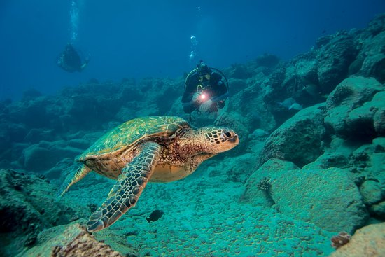 Koloa, HI: Diving with Honu