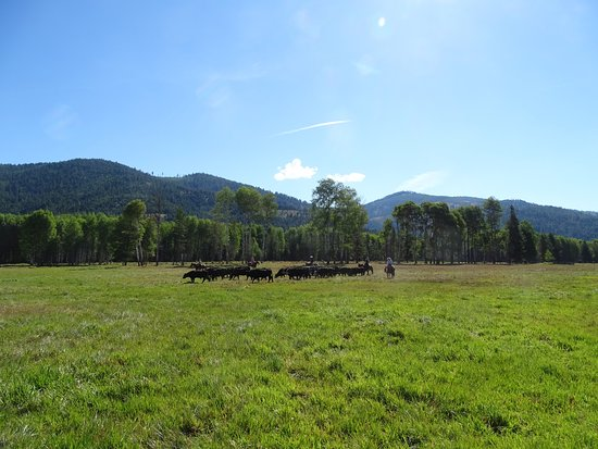 Libby, MT: Herding my first lot of cattle!