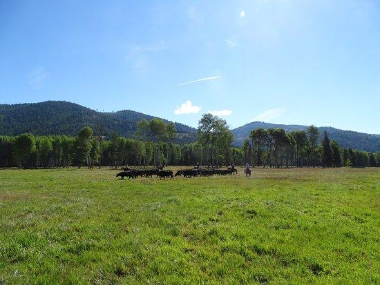 ลิบบี, มอนแทนา: Herding my first lot of cattle!
