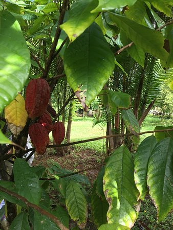 Kilauea, ฮาวาย: Photos captured during our tour of Garden Island Chocolate