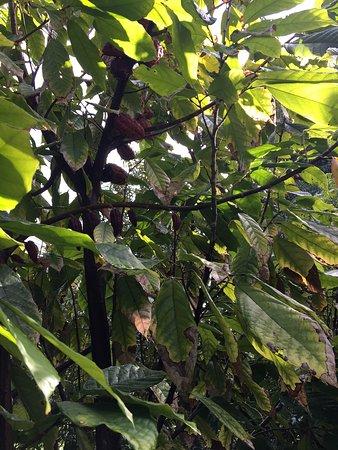 Kilauea, HI: Photos captured during our tour of Garden Island Chocolate