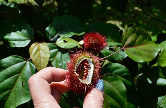 the achiote fruit which