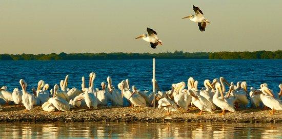 Boca Grande, FL: White Pelicans