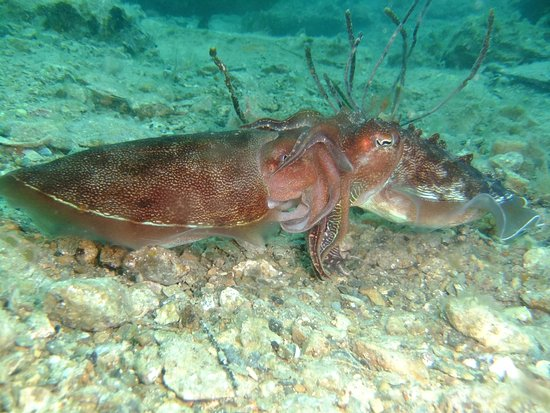 McLaren Vale, Australia: mating cuttlefish