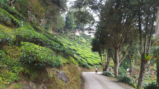 Танах-Рата, Малайзия: Cameron Bharat Tea Estate