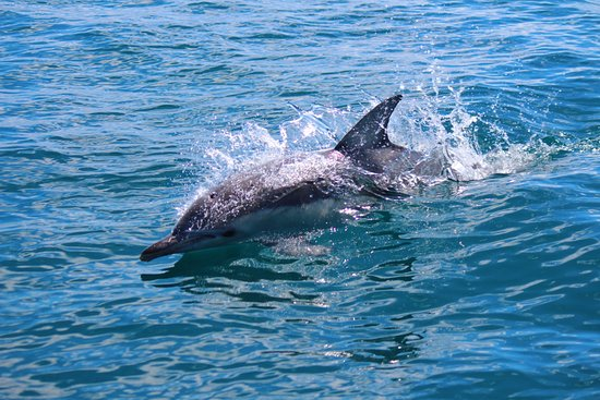 Queenscliff, Αυστραλία: Common Dolphin in Bass Strait