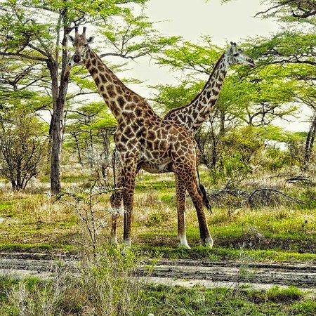 Lindi Region, Tanzania: Lovely Giraffes