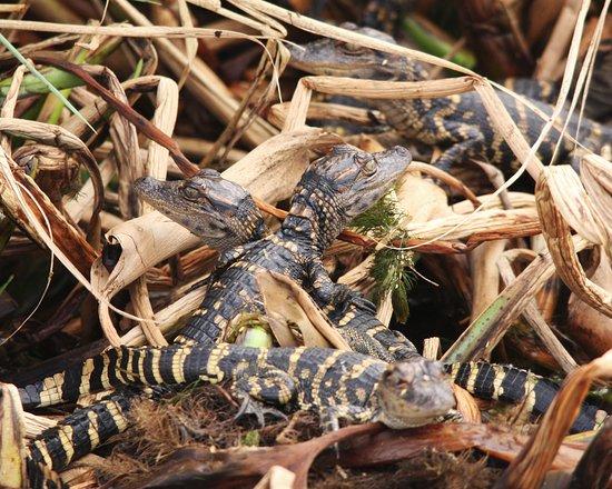 Florida Airboat Excursions: Baby Gators