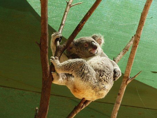 Currumbin, Australië: Koala
