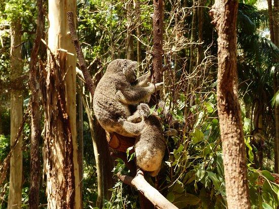 Currumbin, Australië: Koala with 3 young