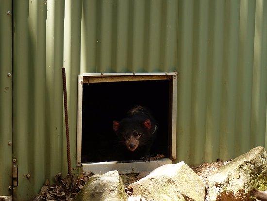 Currumbin, Australië: Tasmanian Devil