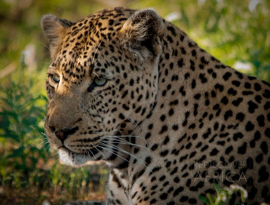 Klaserie Private Game Reserve, Sudáfrica: The Thomas Male Leopard