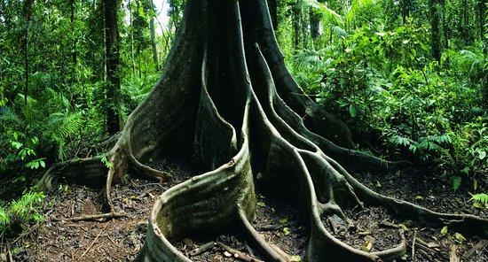 Daintree Region, Australien: лес