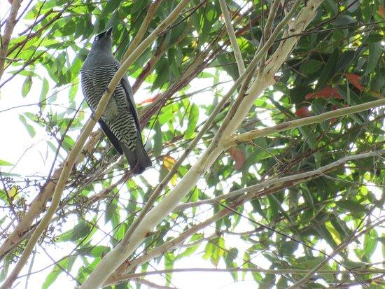 Malanda, Australia: Barred Cuckoo-Shrike