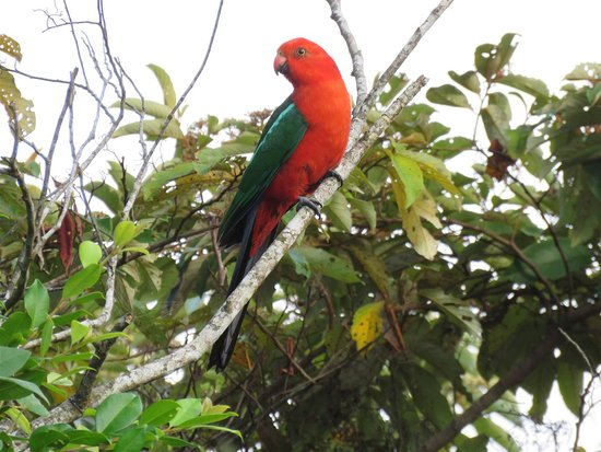 Malanda, Australia: King Parrot