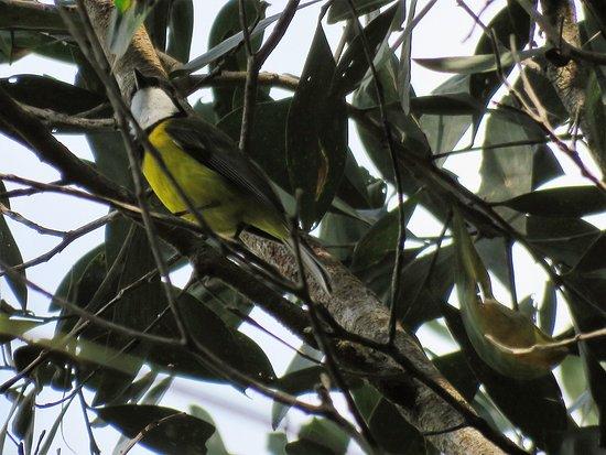 Malanda, Australia: Golden Whistler
