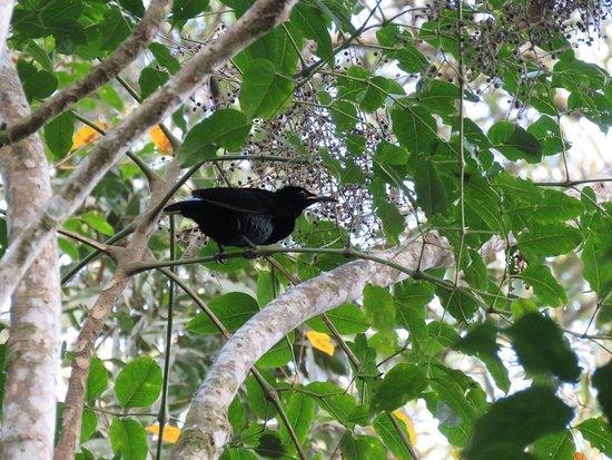 Malanda, Australia: Victoria's Riflebird