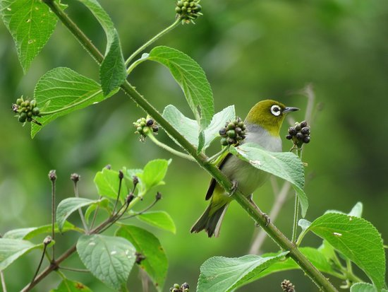 Malanda, Australia: Grey-backed Silvereye