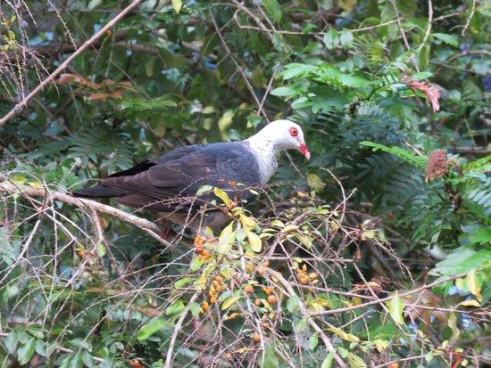 Malanda, Australia: White-headed Pigeon