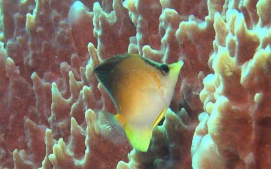 Trois-Ilets, Martinique: Notre chouchou, le poisson Pinocchio