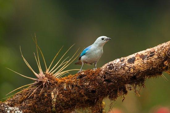 San Gerardo de Dota, Kostaryka: Tanager