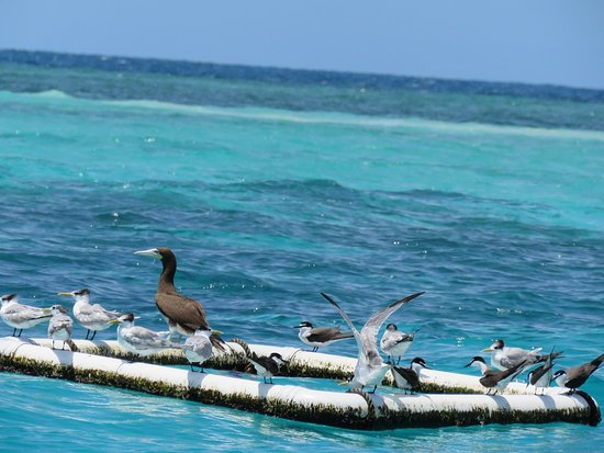 Cape Tribulation, Australia: brown booby with terns by the coral cay