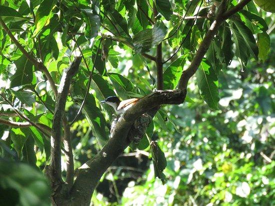 เดนทรี, ออสเตรเลีย: Shining Flycatcher on her nest