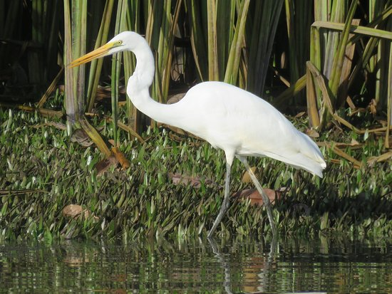 Daintree, Australien: Intermediate Egret