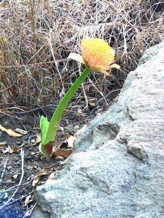 Graskop, Sudafrica: fiore lungo il percorso