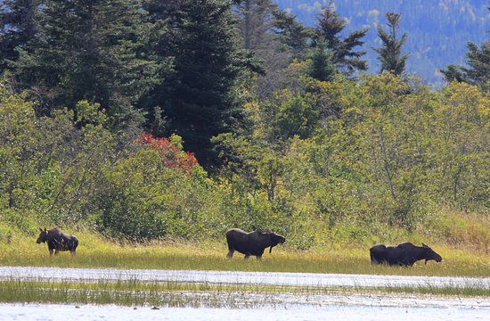 Deer Lake, Canadá: Moose - Credit of NL Tourism