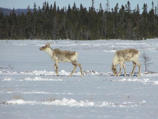 Deer Lake, Canadá: Caribou - Credit of NL Tourism