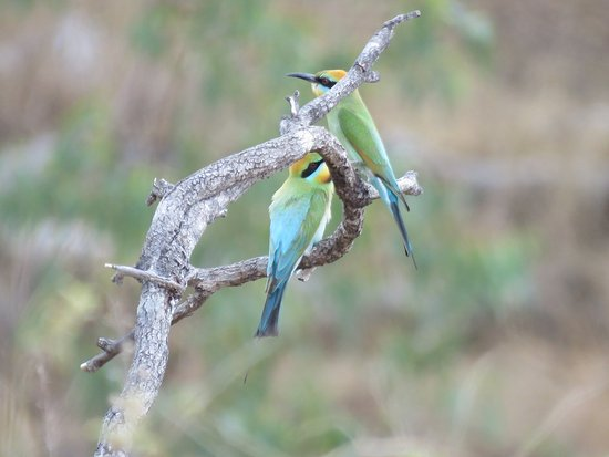 Mossman, Australia: Rainbow Honeyeaters