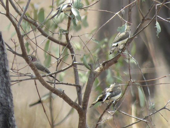 Mossman, Australia: Double-barred Finches