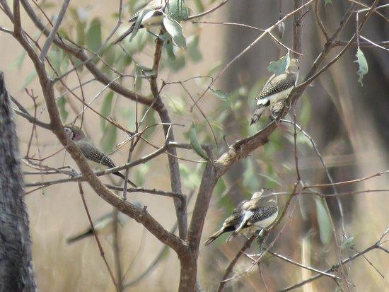 Mossman, Avustralya: Double-barred Finches