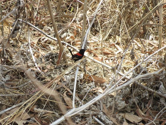 Mossman, Australia: Red-backed Fairy Wren