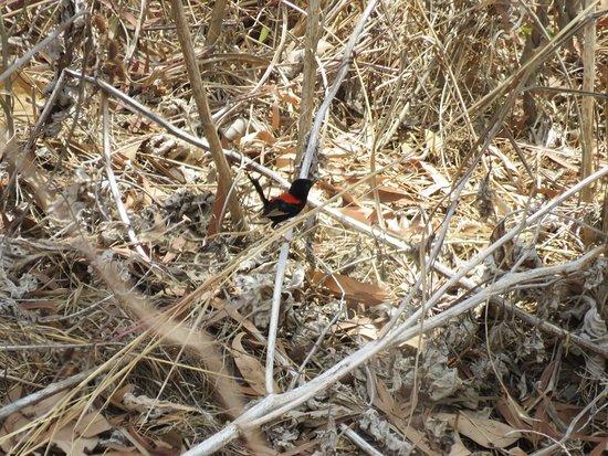 Mossman, Avustralya: Red-backed Fairy Wren