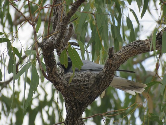 Mossman, Australia: Black-faced Cuckoo Shrike