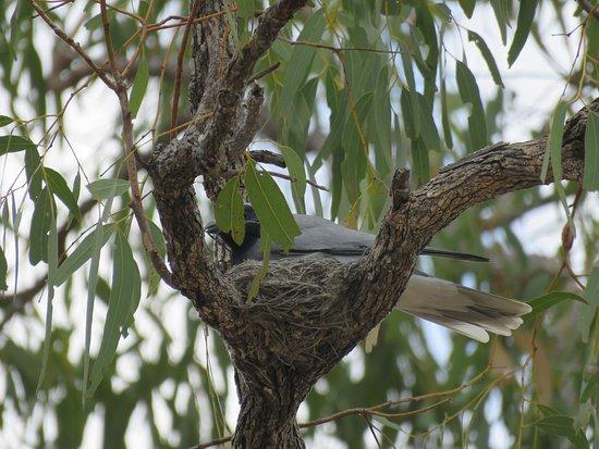 Mossman, Avustralya: Black-faced Cuckoo Shrike
