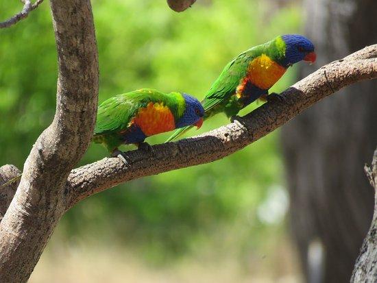 Mossman, ออสเตรเลีย: Rainbow Lorikeets