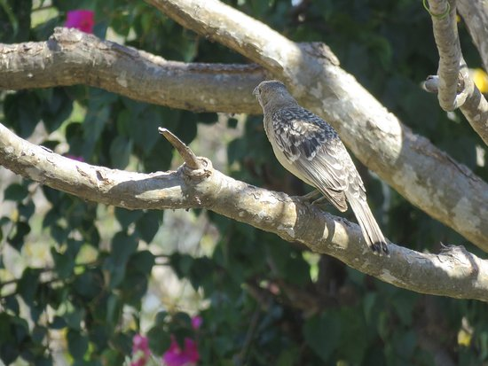 Mossman, ออสเตรเลีย: Great Bowerbird